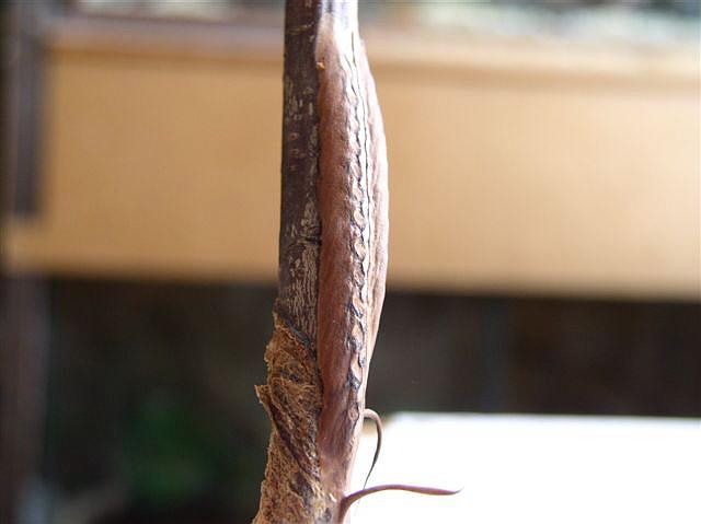 Phyllocrania paradoxa Ooteky_phyllocrania