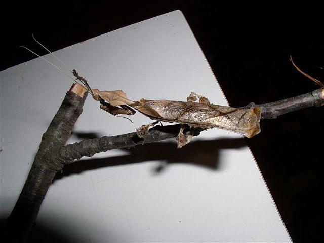 Phyllocrania paradoxa Phyllocrania_samec